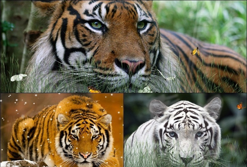 Wild Tigers Screensaver