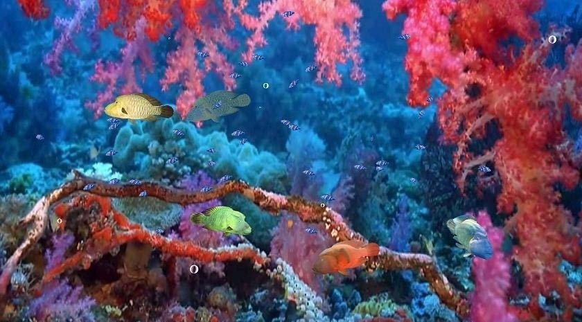 Red Sea Napoleon Fish Screensaver